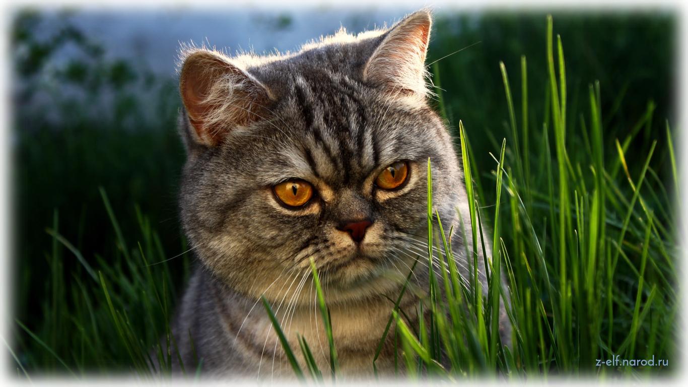 британская кошка, кошки фото, фотографии кошек, обои кошки, картинки кошек