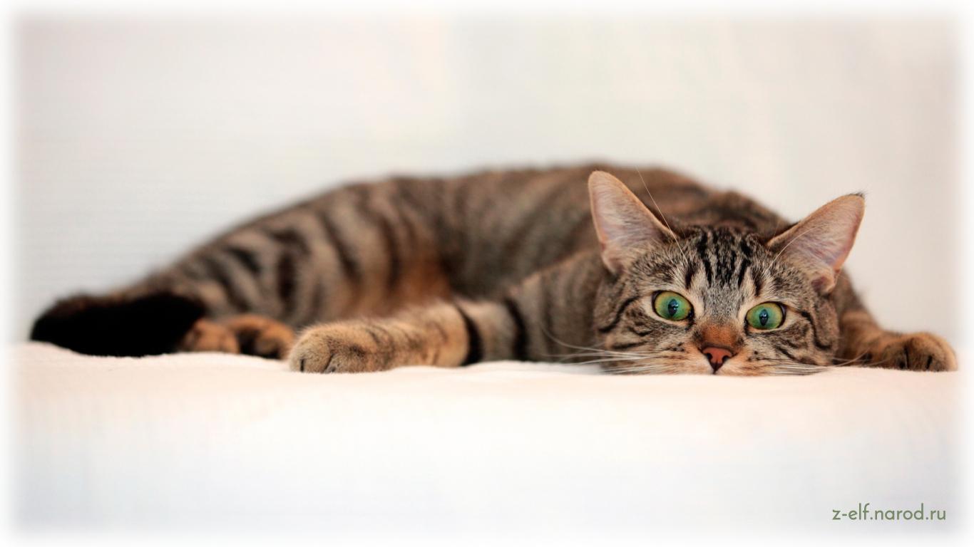 кошка лежит, кошки фото, красивые кошки, обои кошки, картинки кошек, фотографии кошек