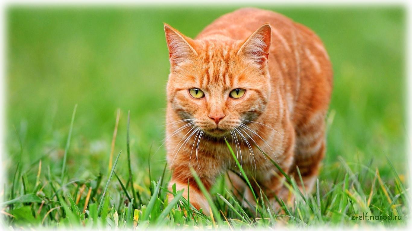 рыжая кошка, кошки фото, фотографии кошек, обои кошки, картинки кошек