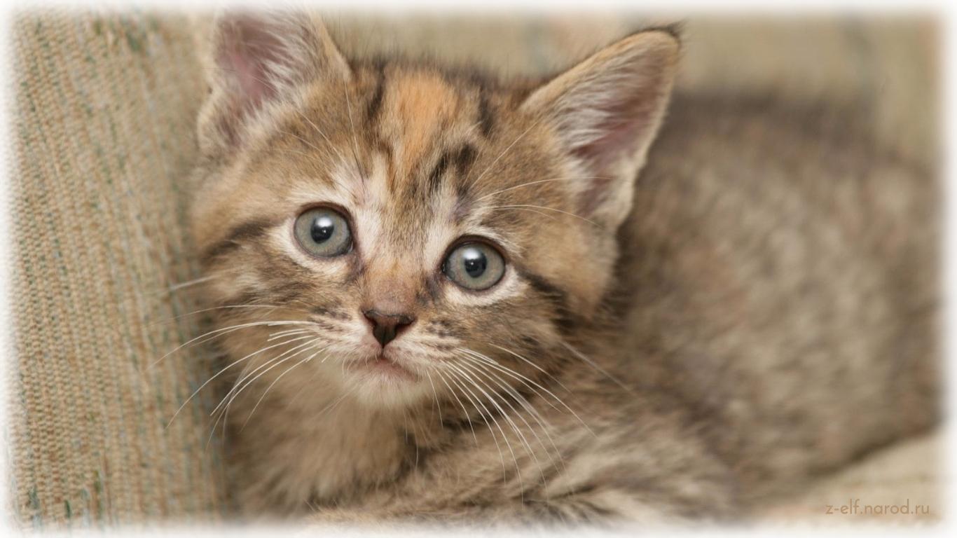 серая кошка, обои кошки, язык кошек, смешные кошки фото, картинки кошек